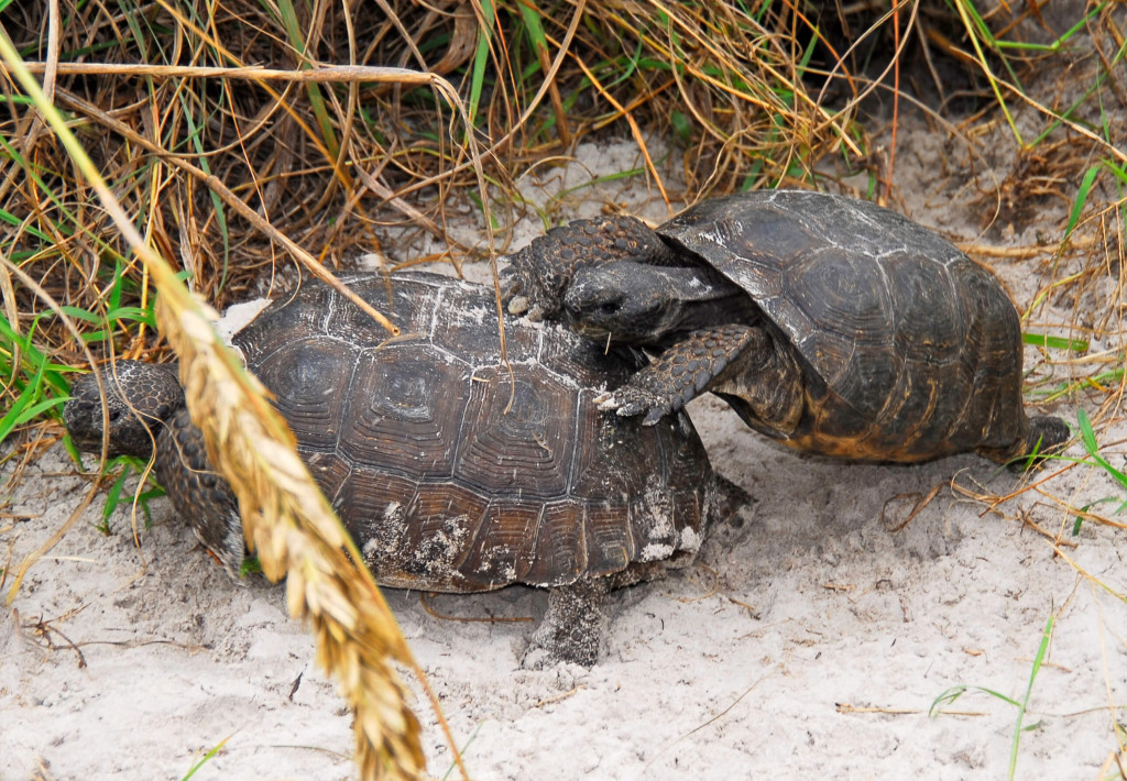 Gopher Tortoise in New Smyrna Beach